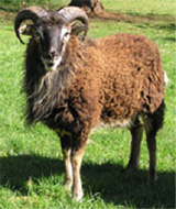 Soay_sheep copy