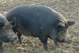 Iron_age_pigs