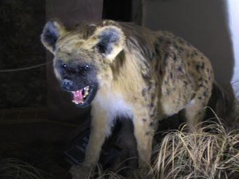 800px-Cave_hyena