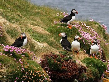 800px-Puffins_(7358822310)